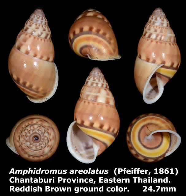 Amphidromus areolatus 24.7mm