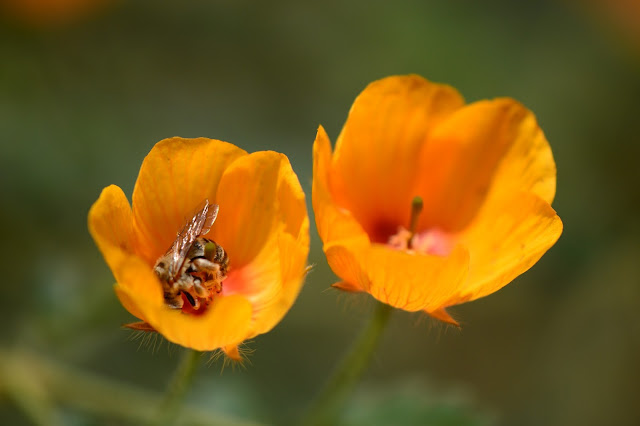 desert poppies, calltrop, amy myers photography, kallstroemia grandiflora