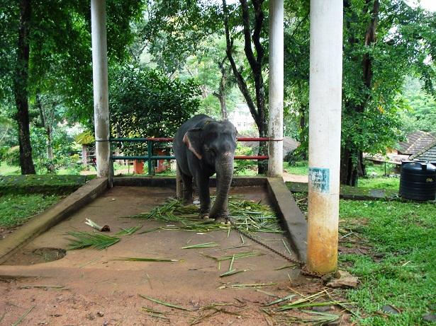 Female ♀ Asian elephant (Elephas maximus) Priyadarshini at Konni Elephant Kraal Reserve (Pathanamthitta)