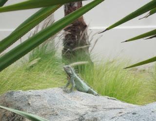 2 iguana's poolside