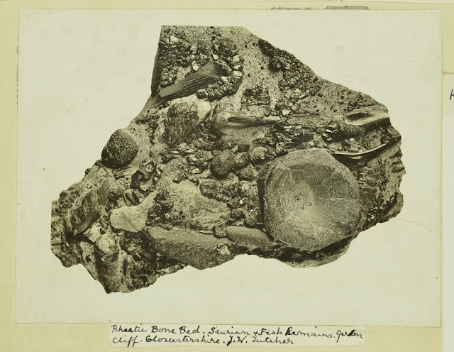 Rhaetic Bone Bed. saurian and fish remains. Garden Cliff. Gloucestershire. J.W. Fletcher.