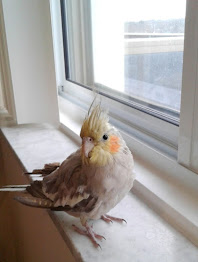 My Cockatiel Cinnie C - CC for short