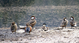 Red Shovelers, White-cheeked Pintail, Puna Teal