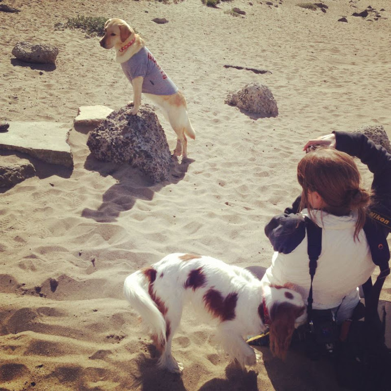 cabana wearing a giants t-shirt as she stands with her front paws up on a rock, back legs on the sand, you can see the photographer taking photos of cabana, as a cavalier king charles spaniel sniffs the photographer