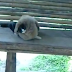 An unimaginable combat between a monkey and a cat