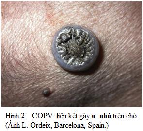 COPV liên kết gây u nhú trên chó