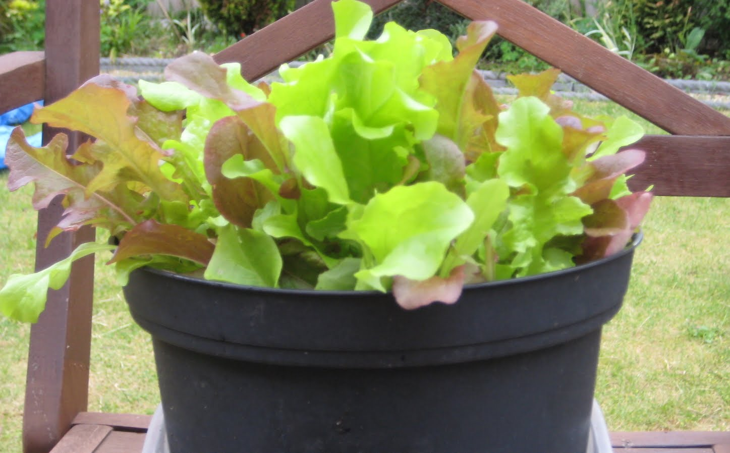 Grow your own fruit and vegetables our home grown salad leaves are saving us money - Salads can grow pots eat fresh ...