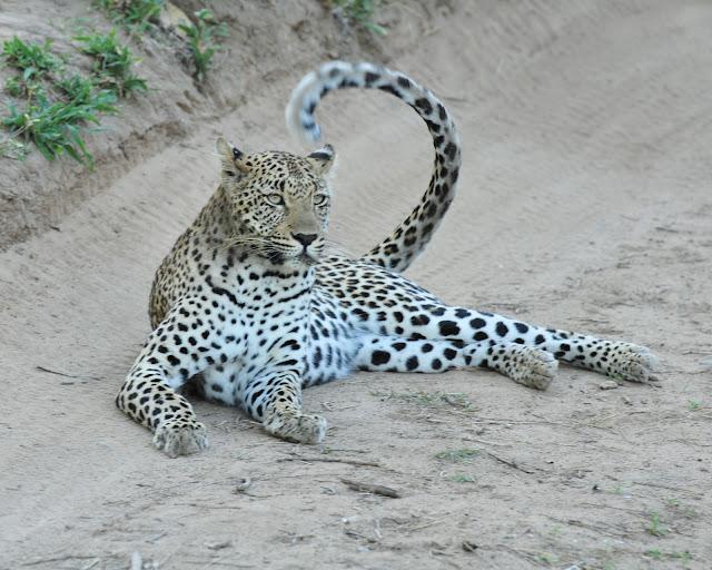 leopard- safari- africa