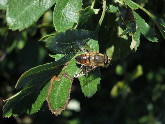 Hoverfly on Hawthorn Leaf