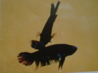 How do betta fish mating for Betta fish mating