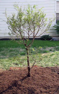 Yatsubusha Chinese elm
