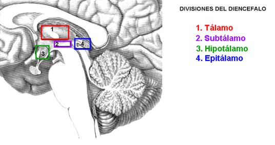Diencéfalo - Anatomía del S. N. Y O. de los S.