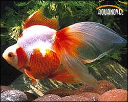 El acuario peces de agua fr a for Variedades de peces de agua fria para acuario