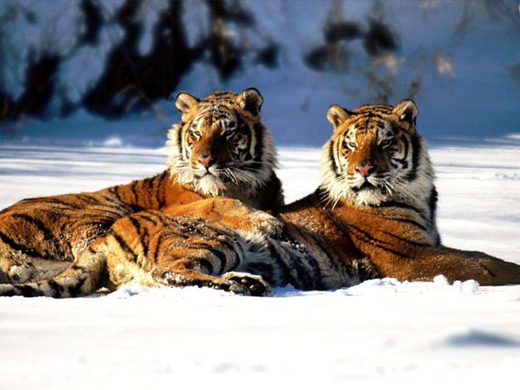 http://2.bp.blogspot.com/-zeVRxmSDPa4/UFXwkRSsH0I/AAAAAAAAEOk/zbKcNrK1a3A/s1600/Lounging_Siberian_Tiger_Couple_879.jpg