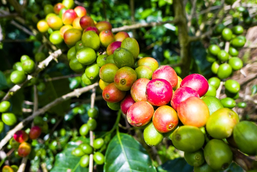 Ripening Costa Rica coffee