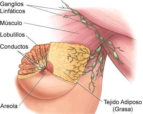 Partes del pecho femenino