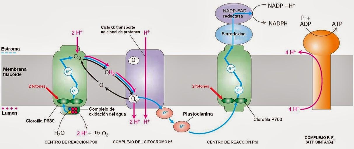 Fotosistema 1 y 2 diferencias 46