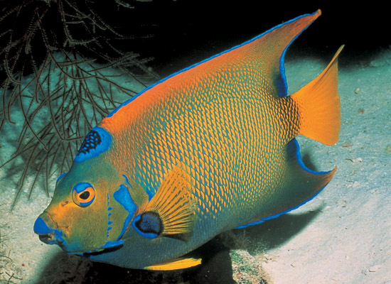 All About Animal Wildlife: Queen Angelfish Information and ...