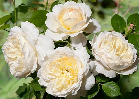 Crocus Rose сорт розы фото купить Минск