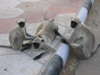 Funny Hanuman langur