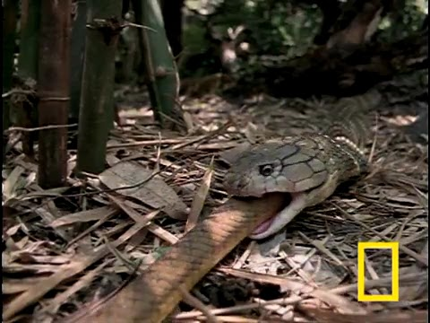 King Cobra Eating A Python