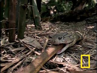 King Cobra Eating The Rat Snake Pictures/King Cobra Eat Rat Snake Pics