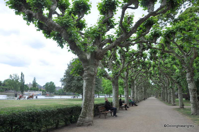 Plane trees, River Main in Frankfurt, Germany