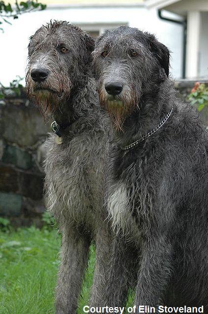 wolfhound wolfhound wolfhound wolfhound wolfhound wolfhound wolfhound ...