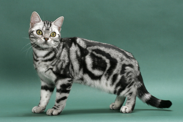 American Shorthair Cat, cat, Cats, pet, pets,