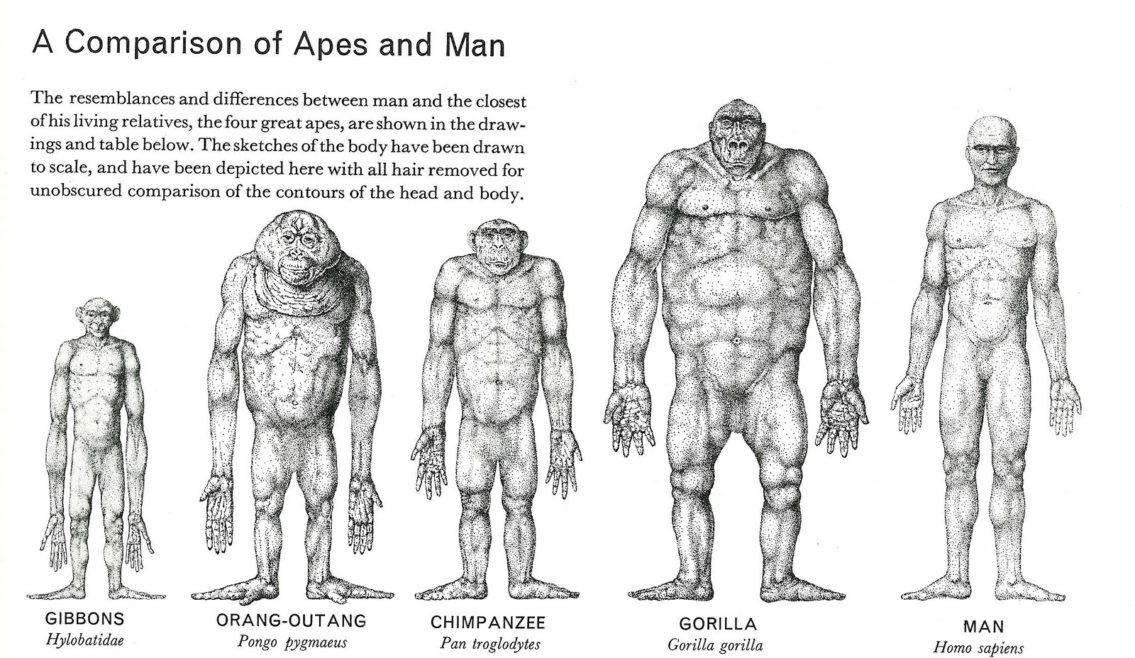 [Obrazek: Comparison+of+apes+and+Man.JPG]