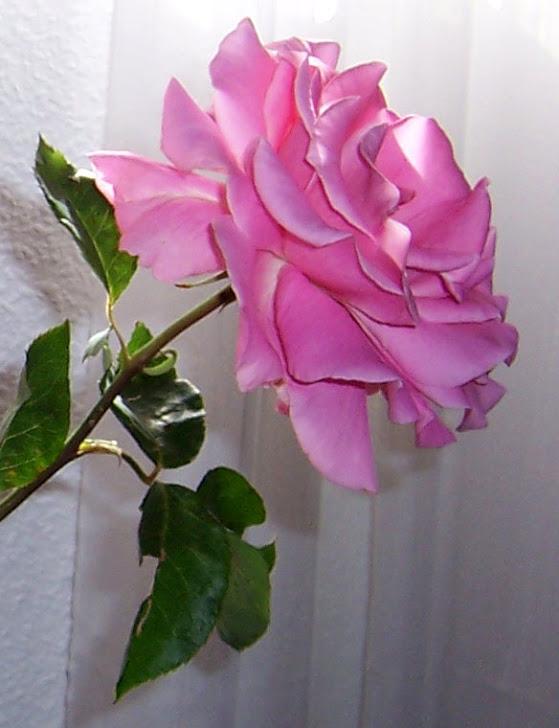 Rosa de nuestro rosal, 2012