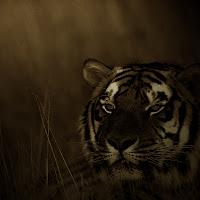 Tiger iPad and iPad 2 wallpapers
