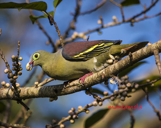 Thick-Billed Green Pigeon (Treron curvirostra)