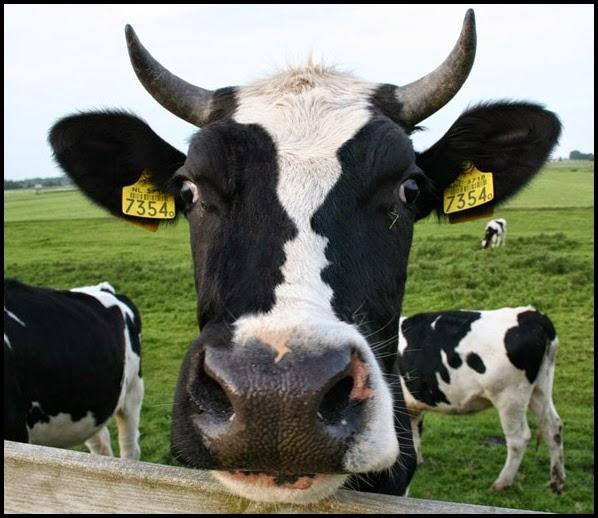 Una vaca con el dibujo de una pareja en su cara.