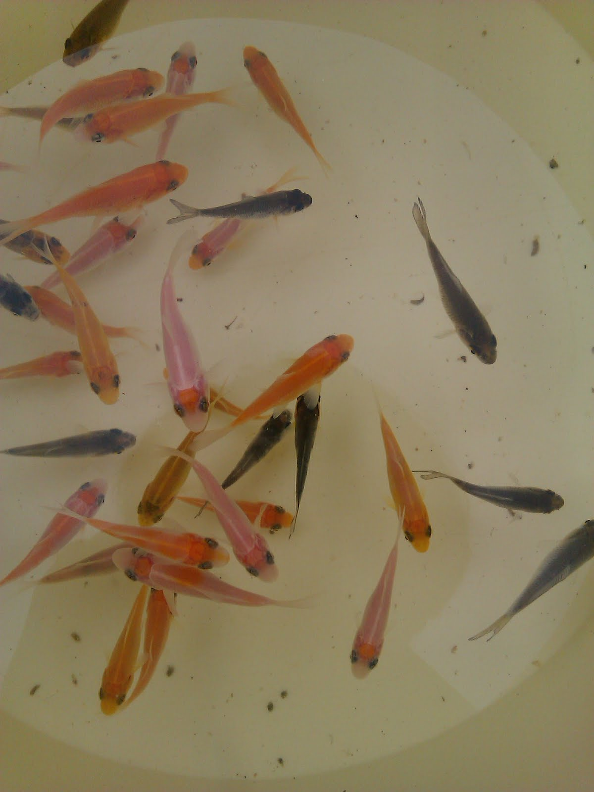 Guide to growing koi fry close up nvjuhfo Choice Image