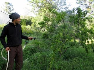 compost tea on orchard trees