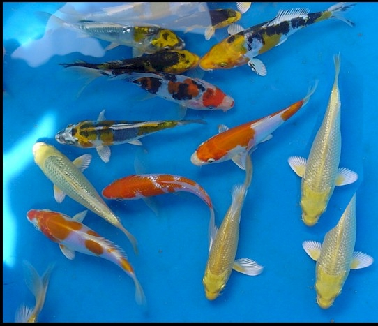 The blackwater blog august 2012 for Koi fish food for sale