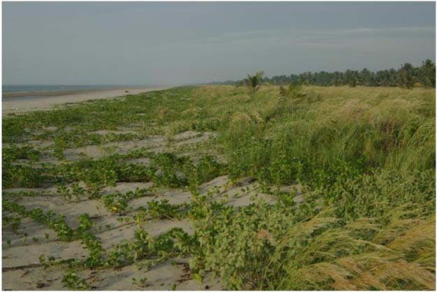 Incipient foredune forming in Ipomoea plants and grasses, Yucatan coast, Mexico.