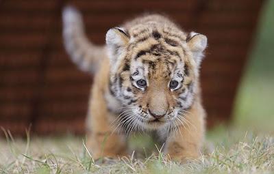 10 Fakta Unik Harimau