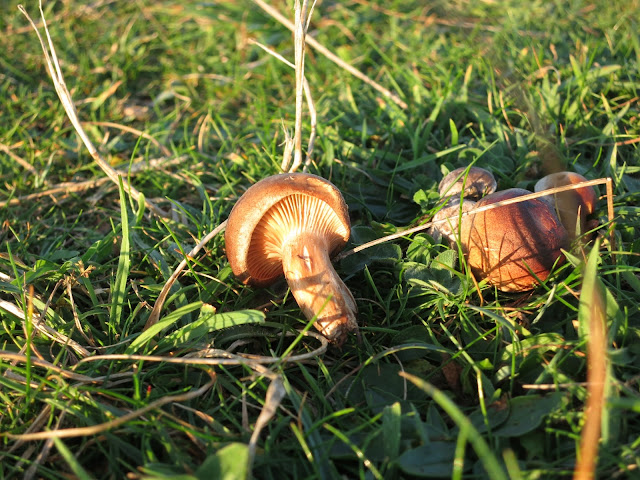 Small brown toadstools in grass. One fallen over.
