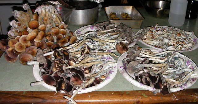 Drying magic mushrooms