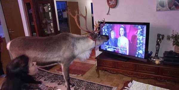 http://2.bp.blogspot.com/-zjZBWyf_VWg/Upn_-bqKnVI/AAAAAAABUDY/dp50N46ghWc/s1600/Reindeer+watching+TV.jpg