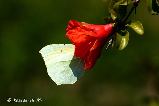 Kleopatra kelebeği ağaç dalında sadece kanatlarının fotoğrafı