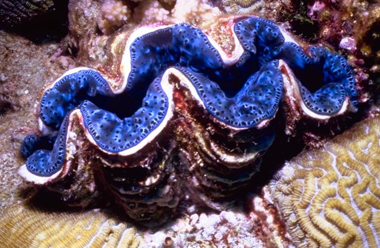 dangerous of wild animals giant clam