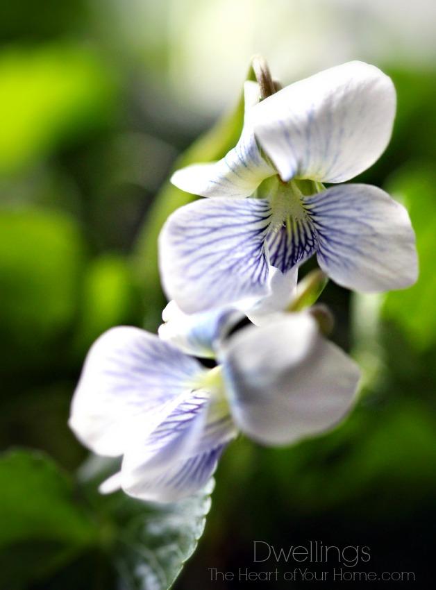 are violets weeds
