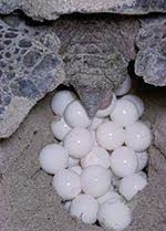 Reproducción de la tortuga de tierra - Reptiles Mundo