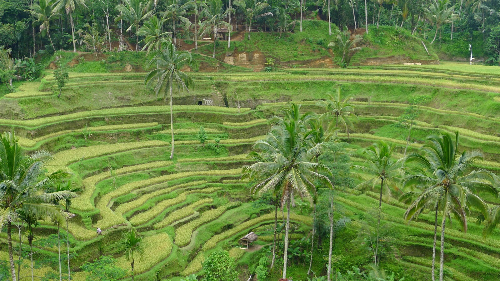 adventures in sustainability tegalalang rice terraces