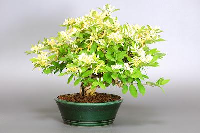 ヒョウタンボクF(瓢箪木 盆栽)Lonicera morrowii bonsai