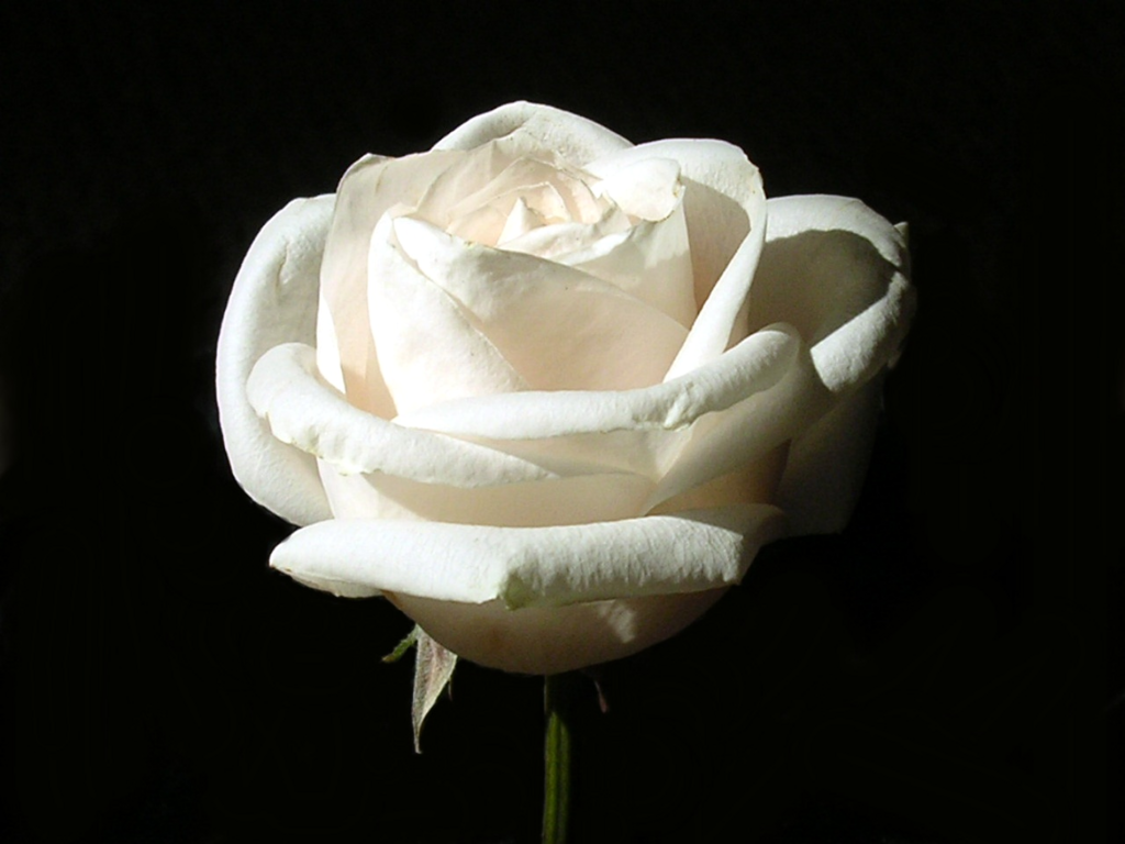 rose with withe - photo #27