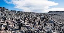 Cambio climático es responsable de episodio de muerte masiva de pingüinos